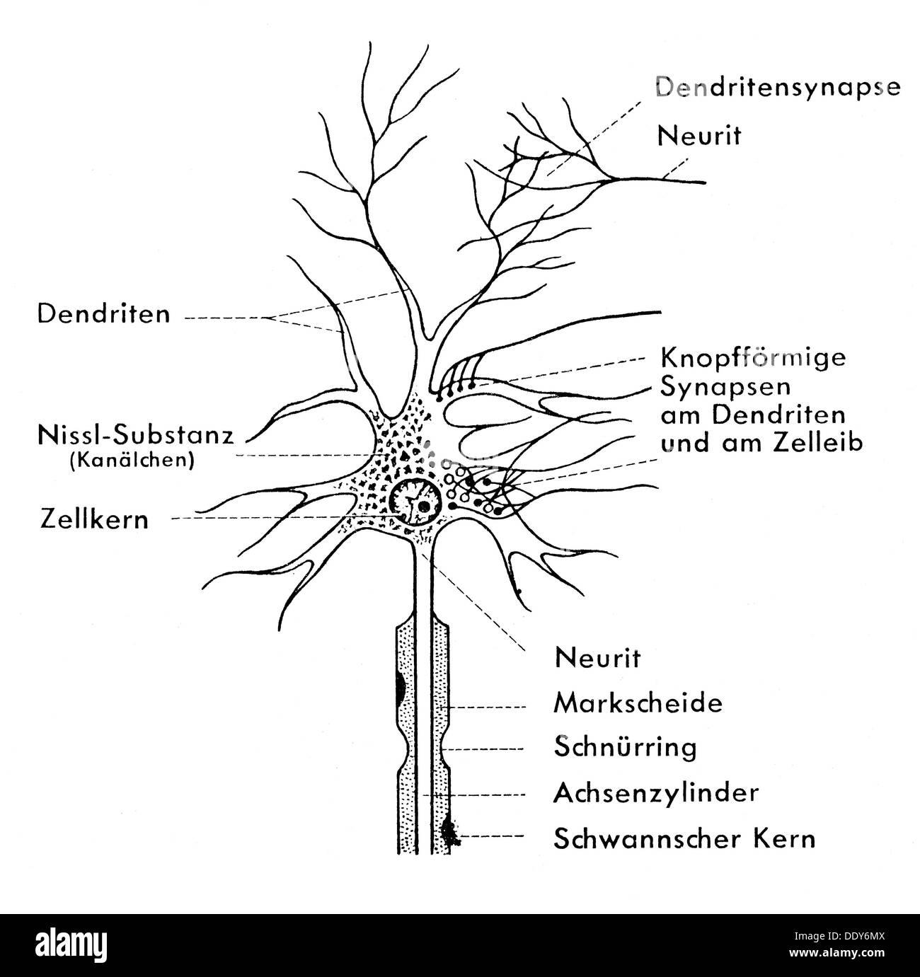 La medicina, la anatomía, la célula nerviosa, diagrama de células ...