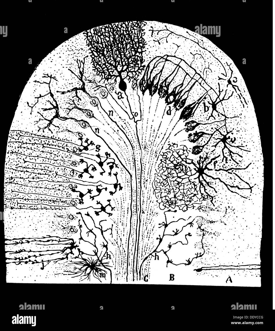 Anatomía medicina sección parasagittal de células nerviosas en el ...