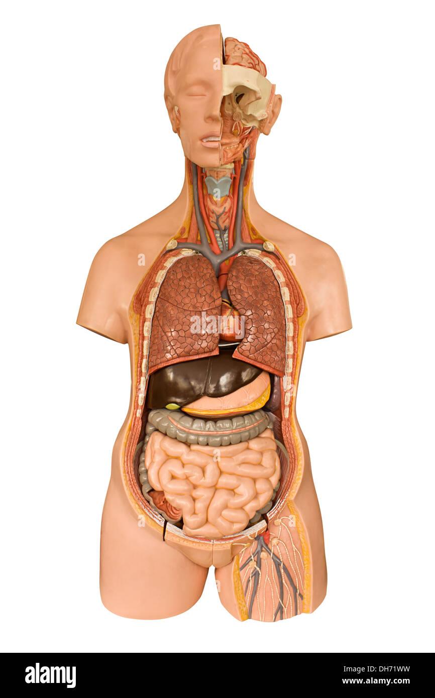 Modelo anatómico de los órganos internos del cuerpo humano ...