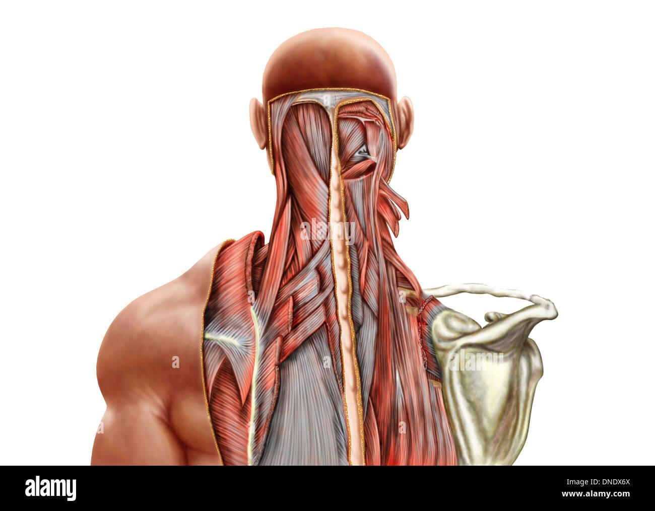 Anatomía Humana mostrando músculos profundos en el cuello y la parte ...