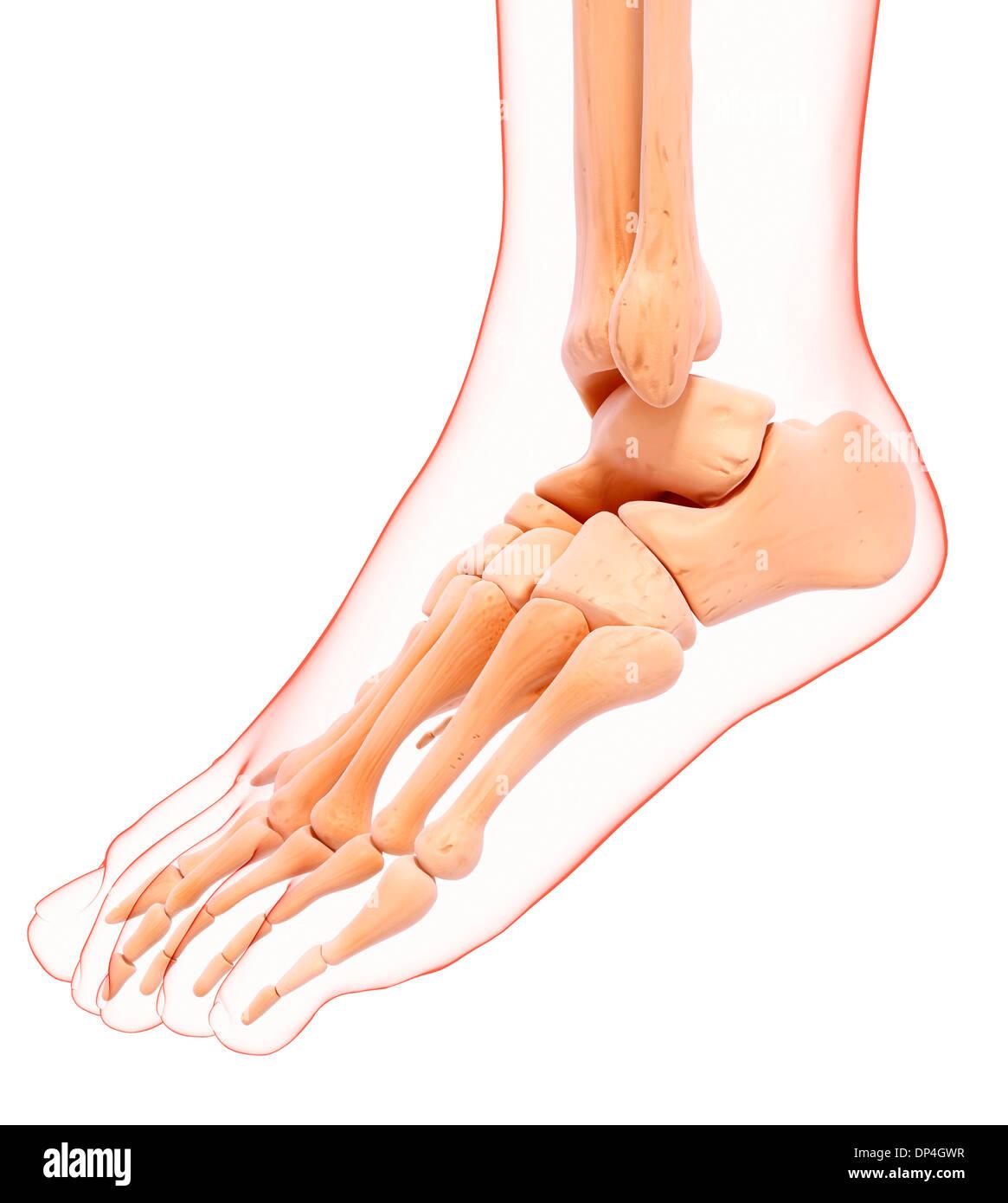Los huesos del pie humano, obras de arte Foto & Imagen De Stock ...