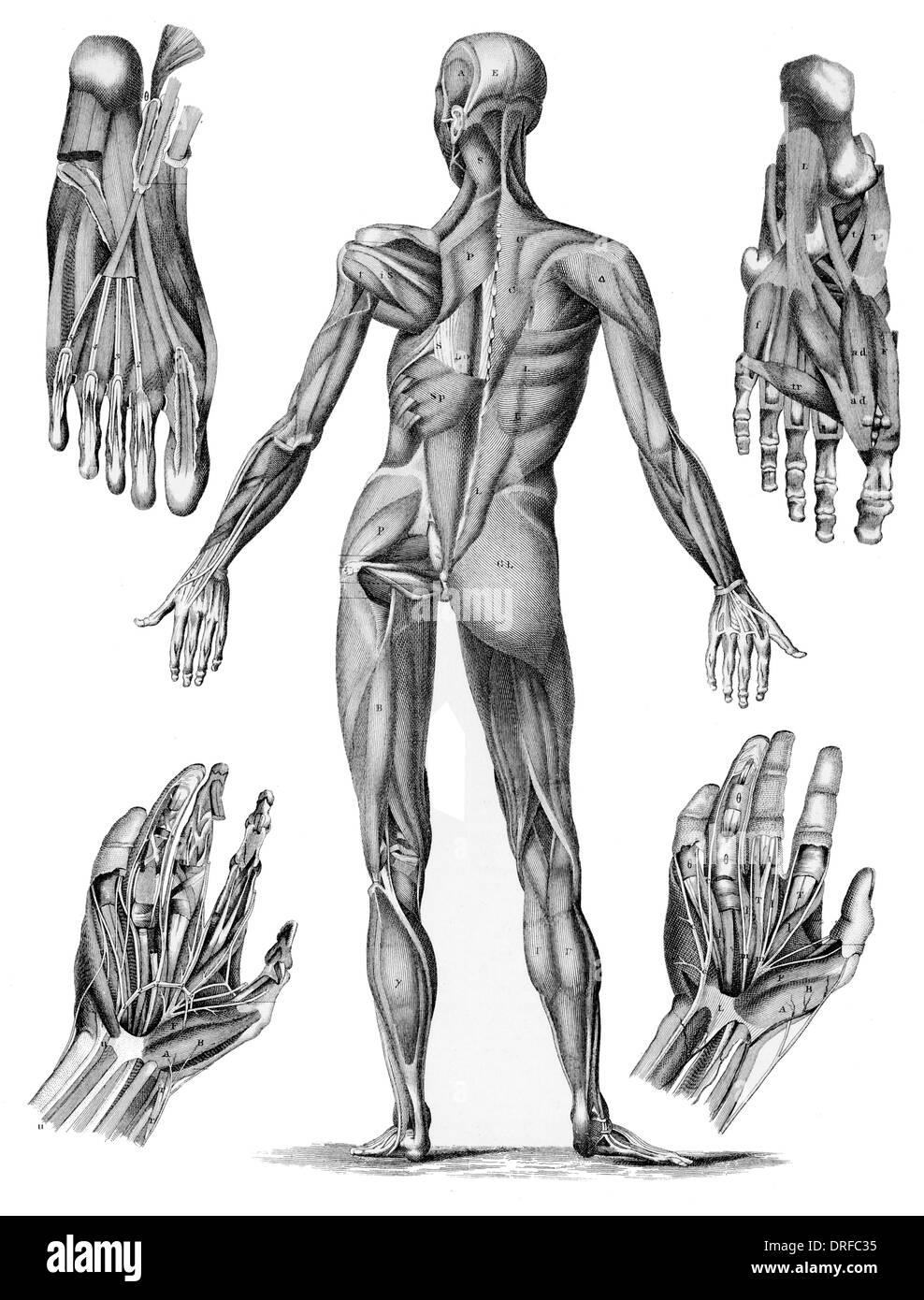 Anatomía muscular humana - Macho músculos desde el posterior ...