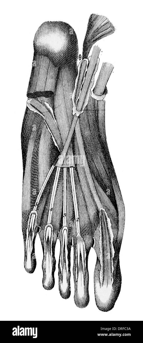 Tendones del pie humano Foto & Imagen De Stock: 66106974 - Alamy