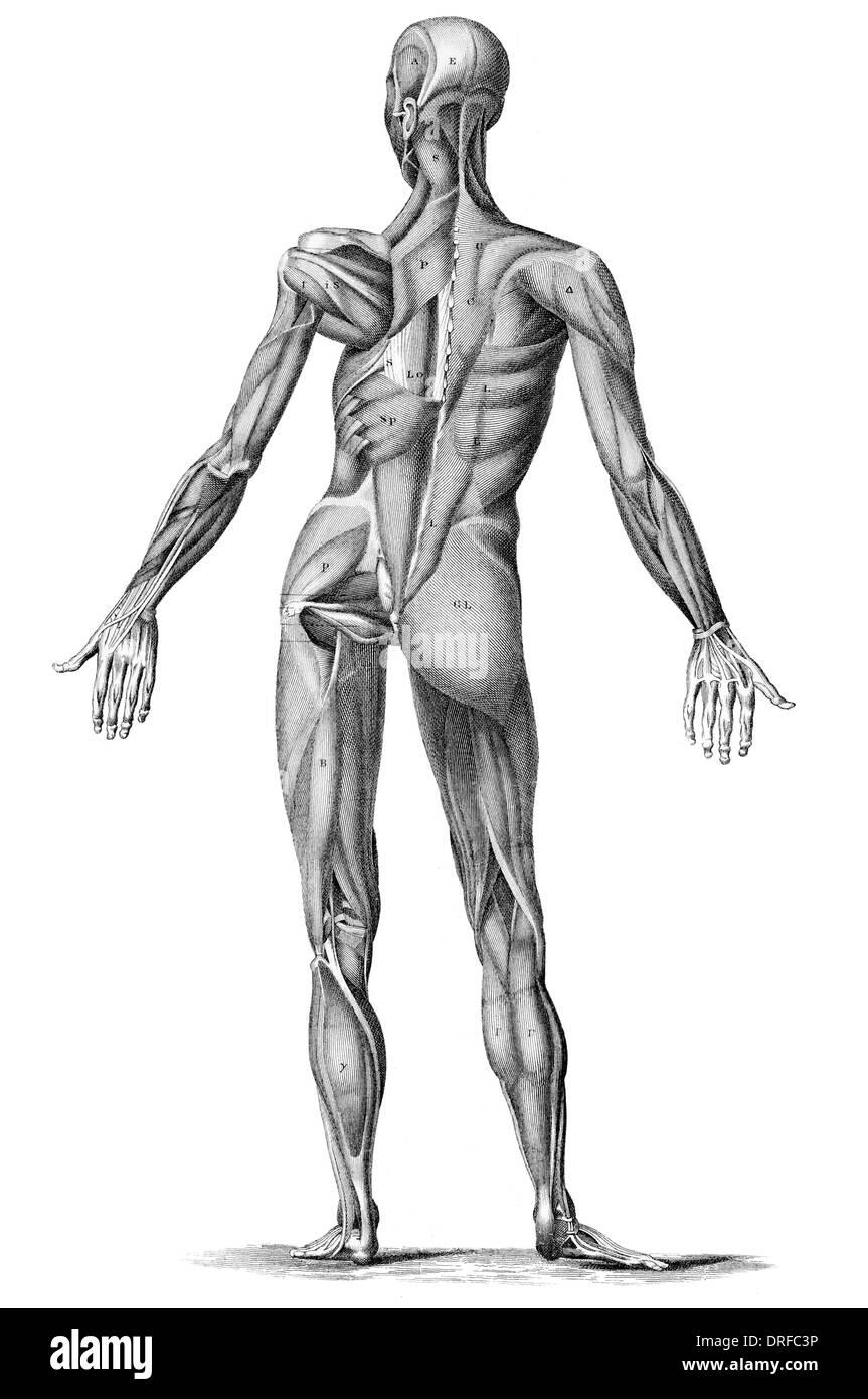 Anatomía muscular humana - Macho los músculos de la parte posterior ...