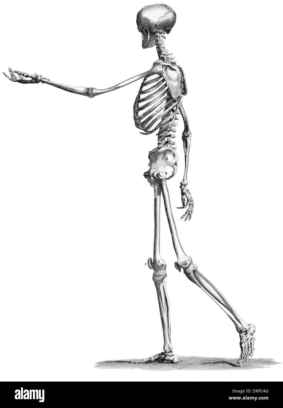 Vista lateral del cuerpo humano esqueleto permanente Foto & Imagen ...