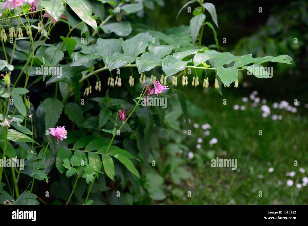 Aquilegia Vulgaris Aquilegia Nora Barlow Polygonatum Multiforum - Flores-de-sombra