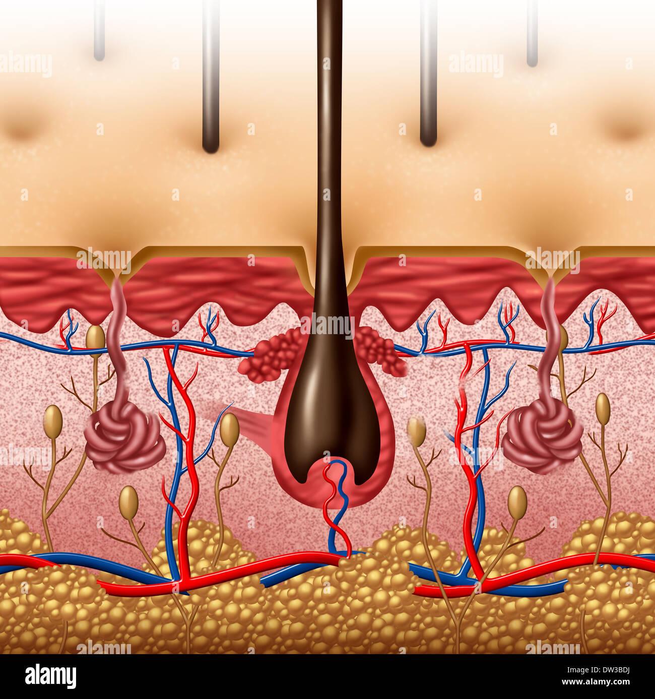 Concepto de diagrama de la anatomía de la piel con una sección ...