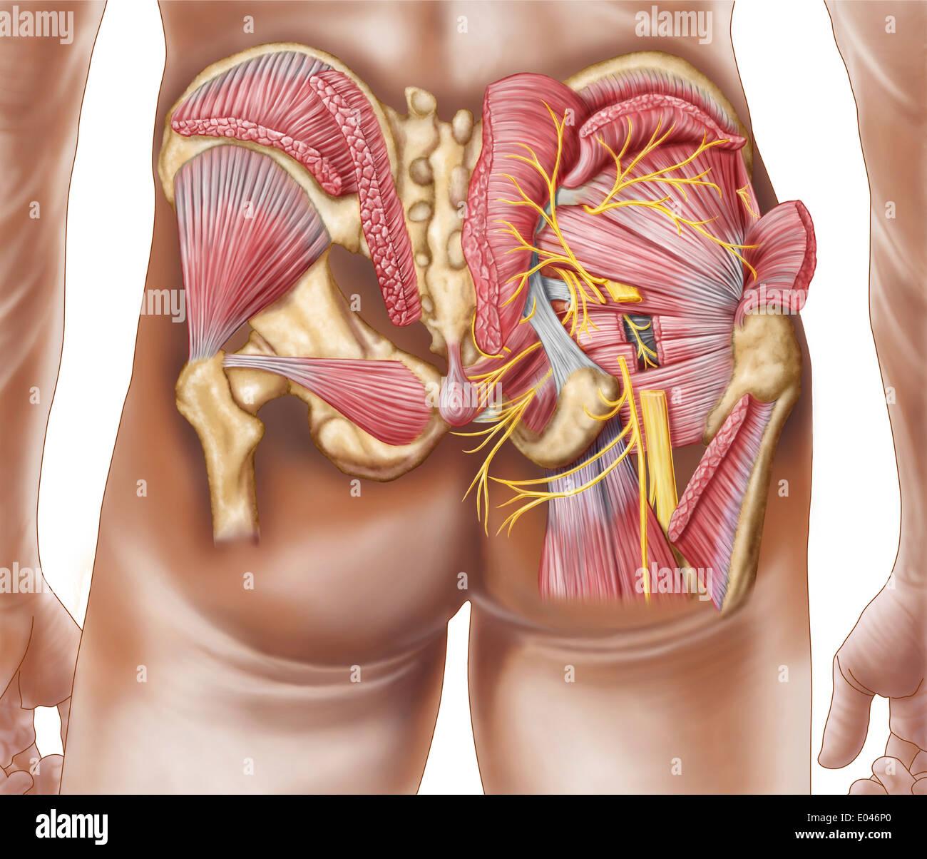 Anatomía de los músculos de los glúteos en los derechos de las ...