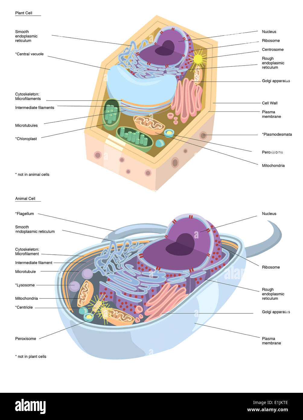 Ilustración comparativa de la anatomía de la célula vegetal y animal ...