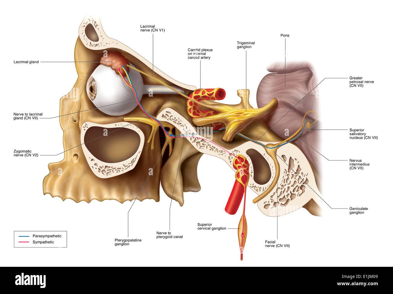 Vías anatómicas de la inervación de la glándula lagrimal Foto ...