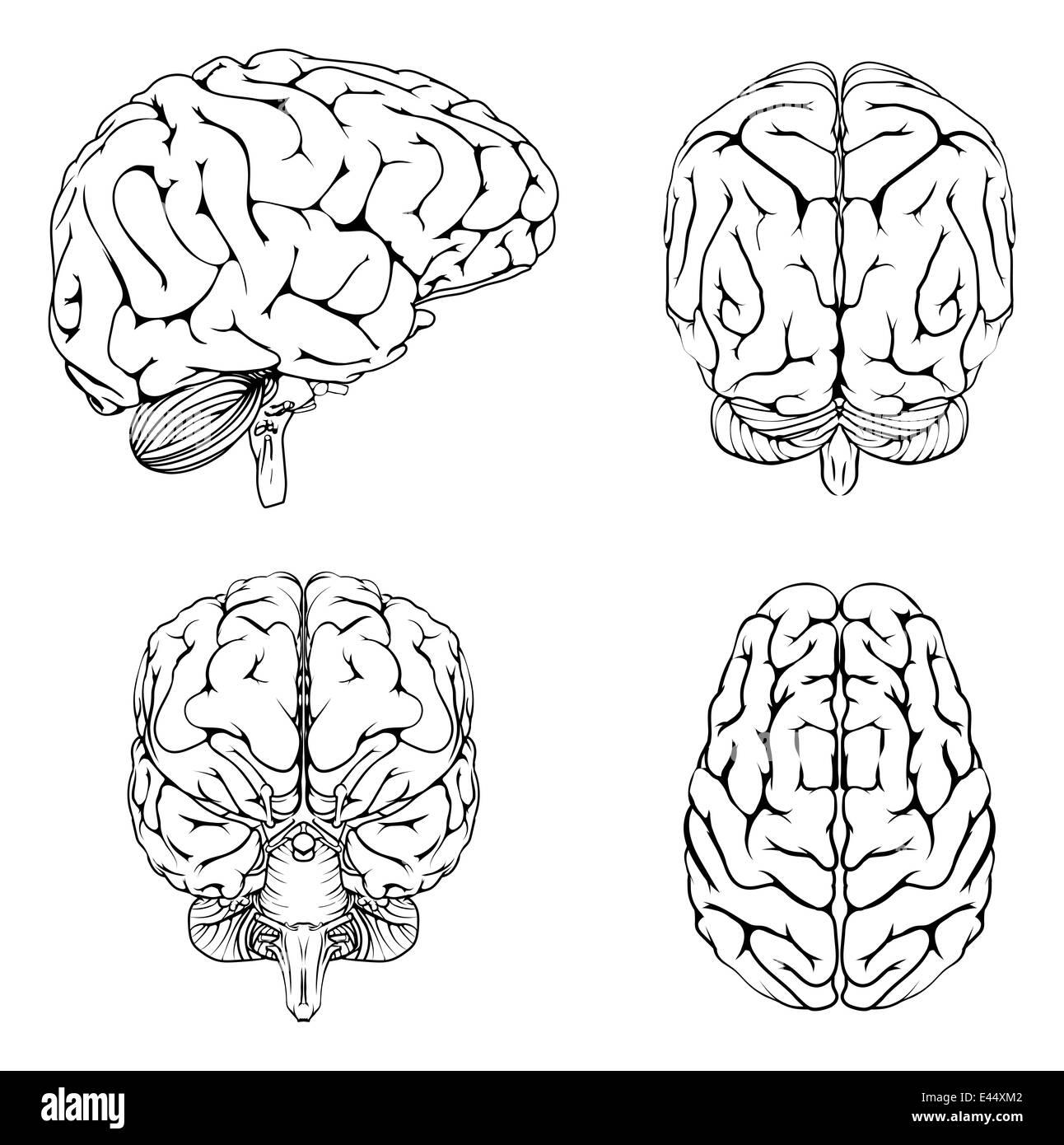 Un diagrama del cerebro desde el lado superior frontal y trasera en ...