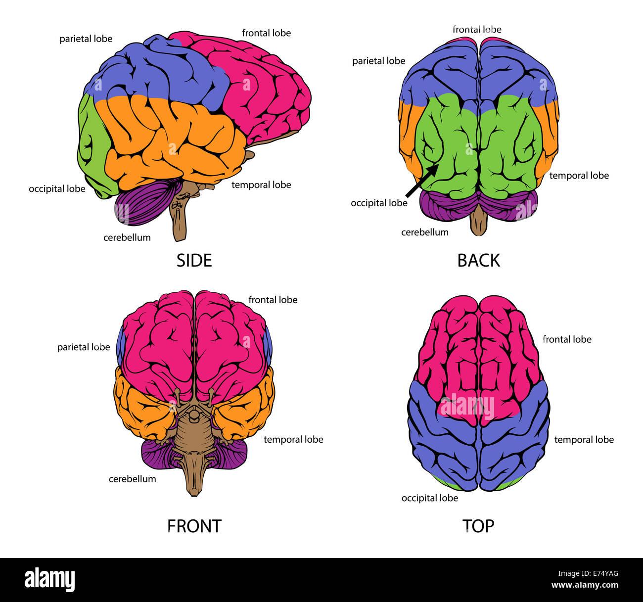 Excelente Etiquetar El Diagrama De Cerebro Adorno - Imágenes de ...