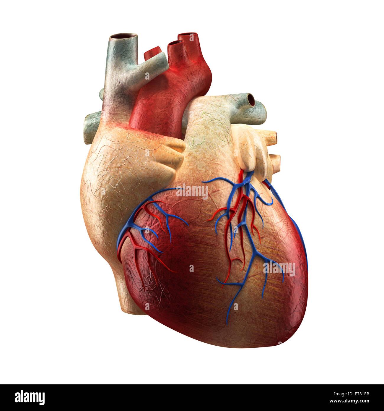 Verdadero Corazón - Modelo de Anatomía Humana Foto & Imagen De Stock ...