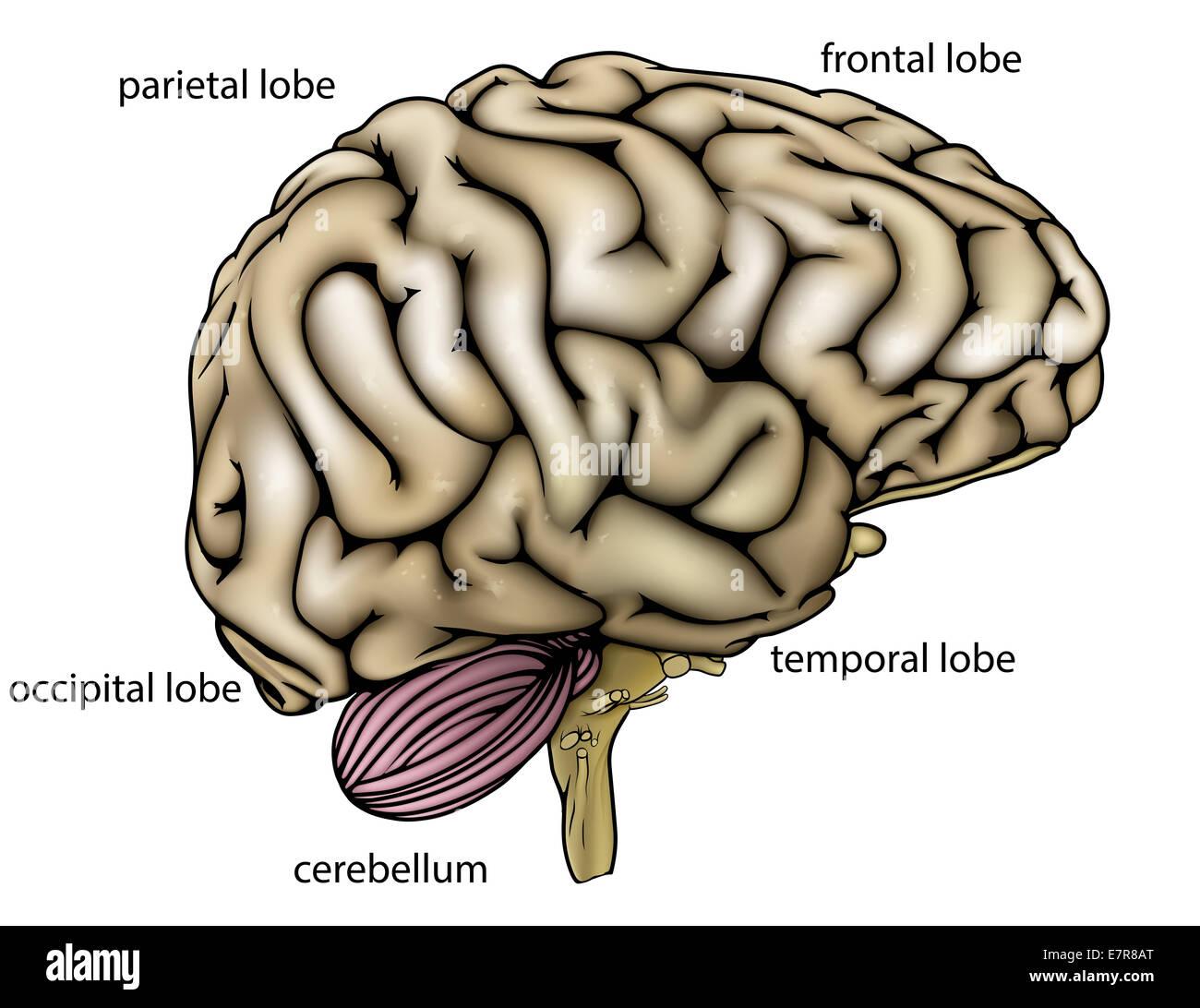 Anatomía de una imagen o un diagrama de un cerebro humano ...