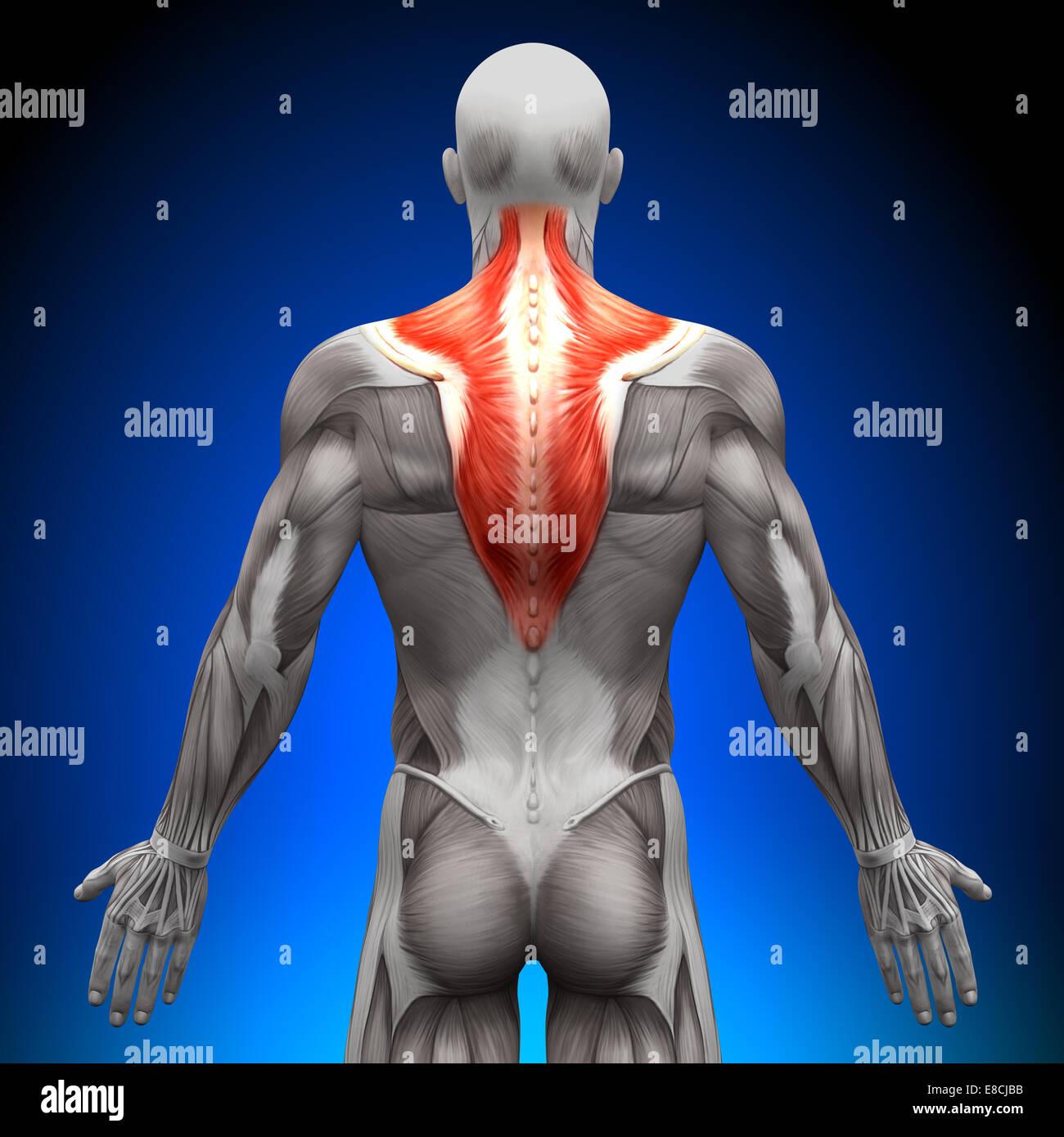 Trapecio - Anatomía músculos Foto & Imagen De Stock: 74036575 - Alamy