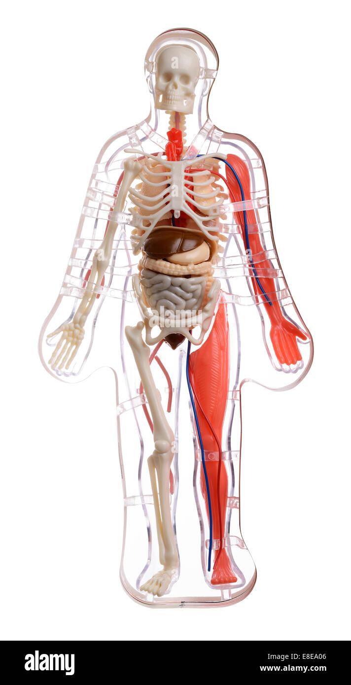 3D cut away diagrama del cuerpo humano Foto & Imagen De Stock ...