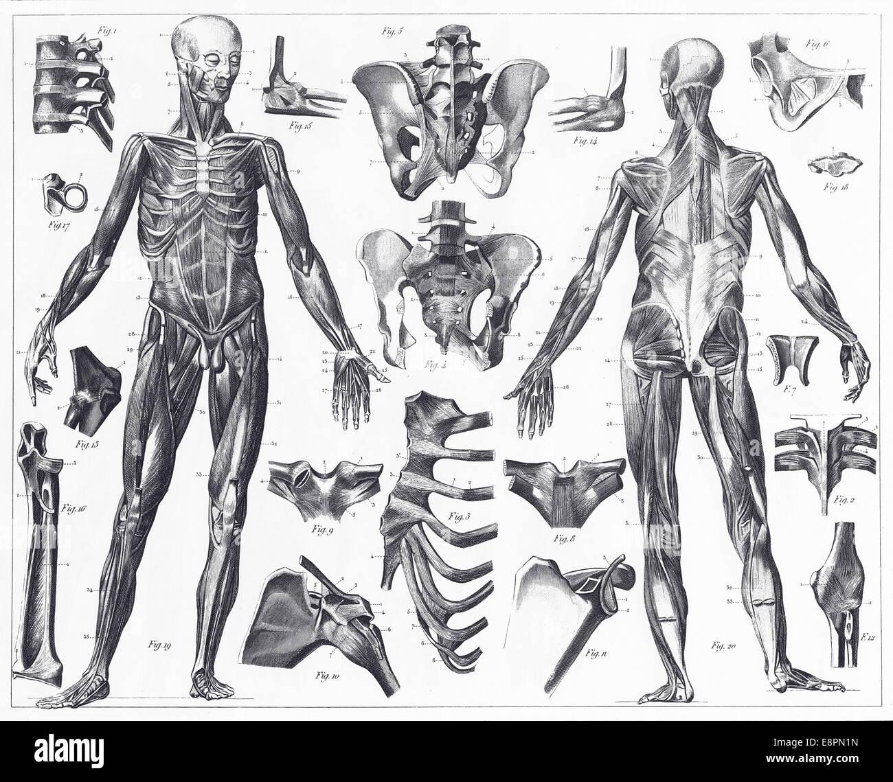Grabado ilustraciones de anatomía de los ligamentos y músculos de la ...