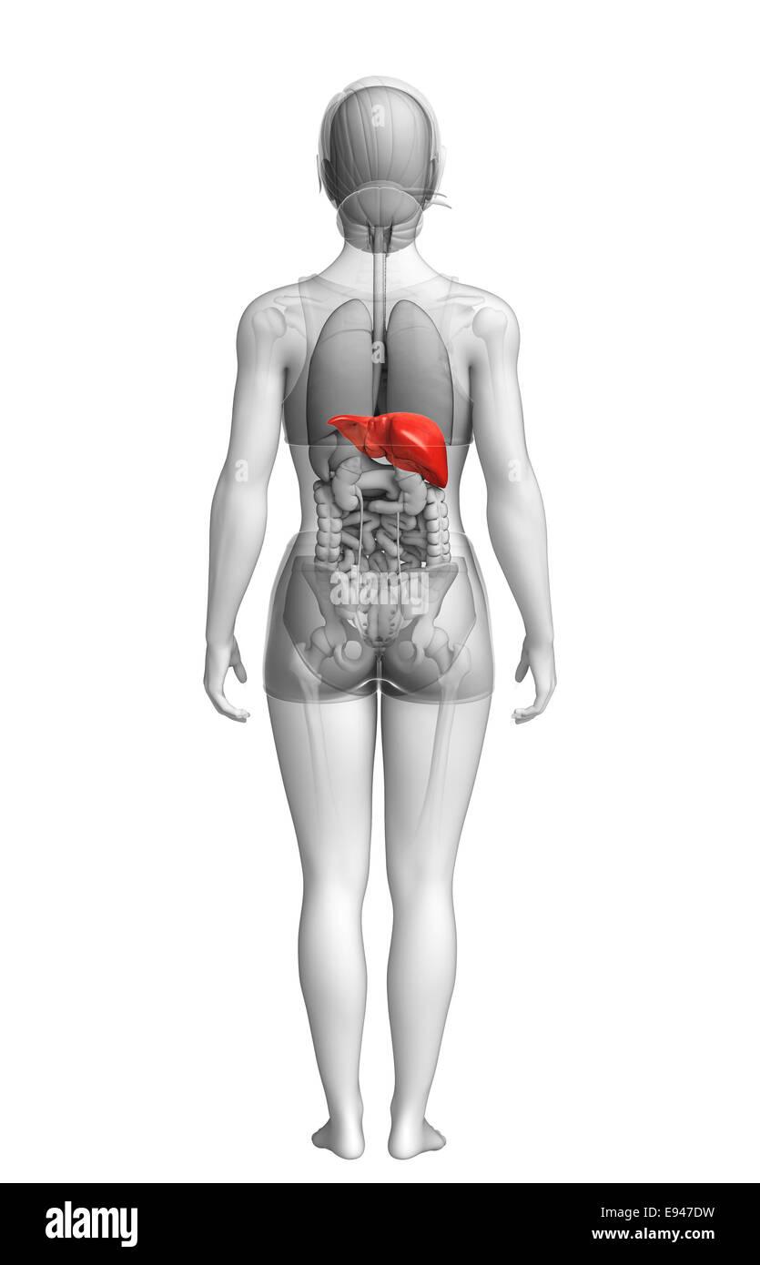 Ilustración de anatomía del hígado femenino Foto & Imagen De Stock ...