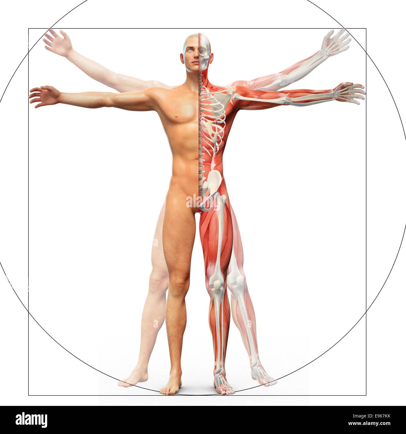 Anatomía Humana aparece como el hombre de vitruvian por Leonardo da ...