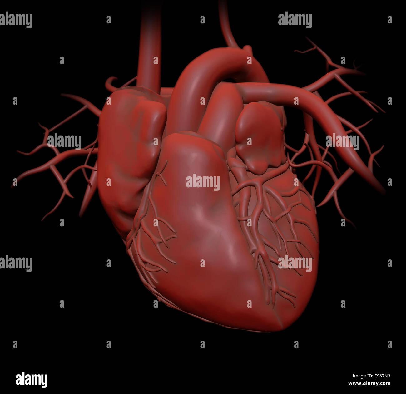 Corazón humano - Cardiología Salud ilustración Foto & Imagen De ...