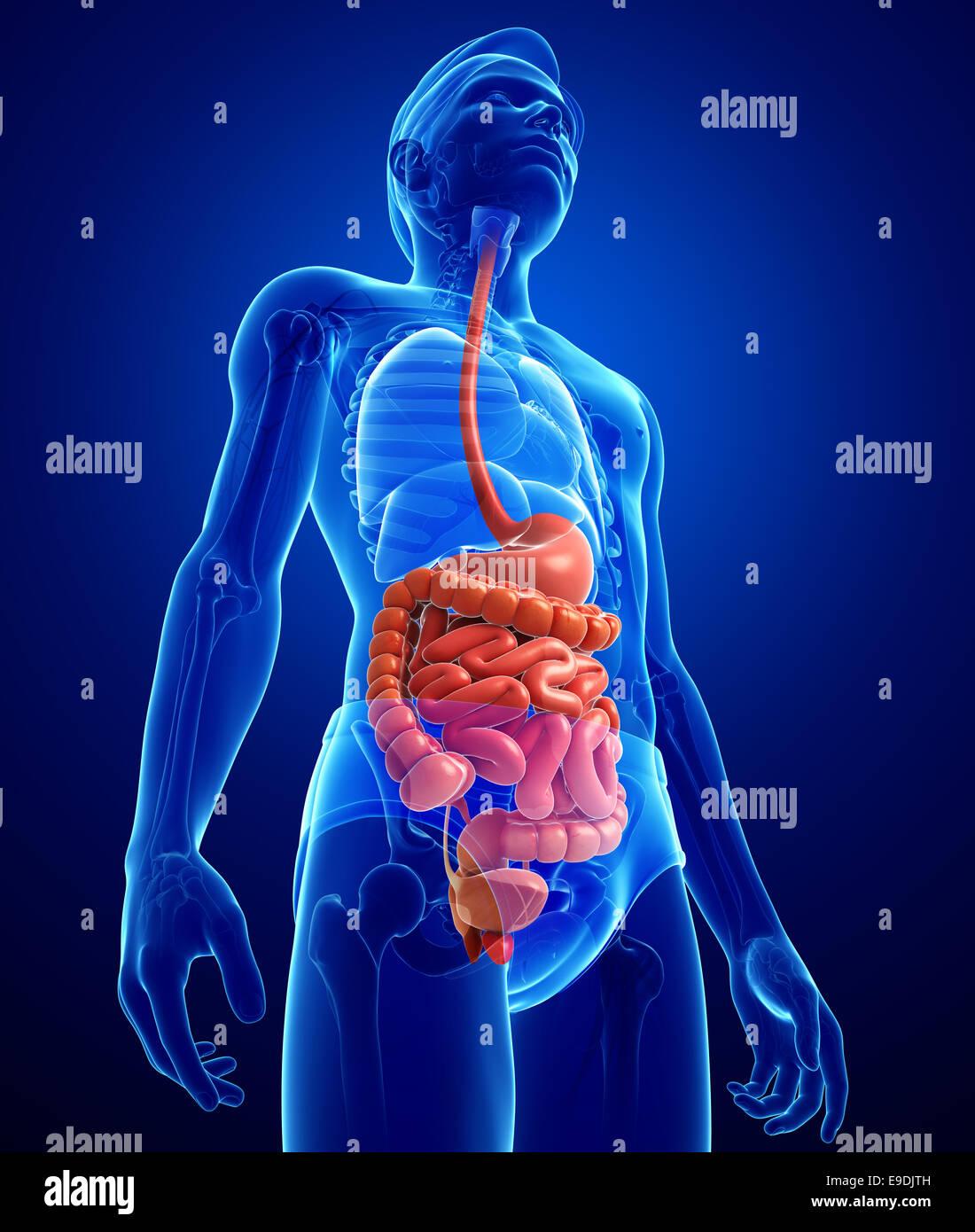 Ilustración de masculina Anatomía del intestino delgado Foto ...