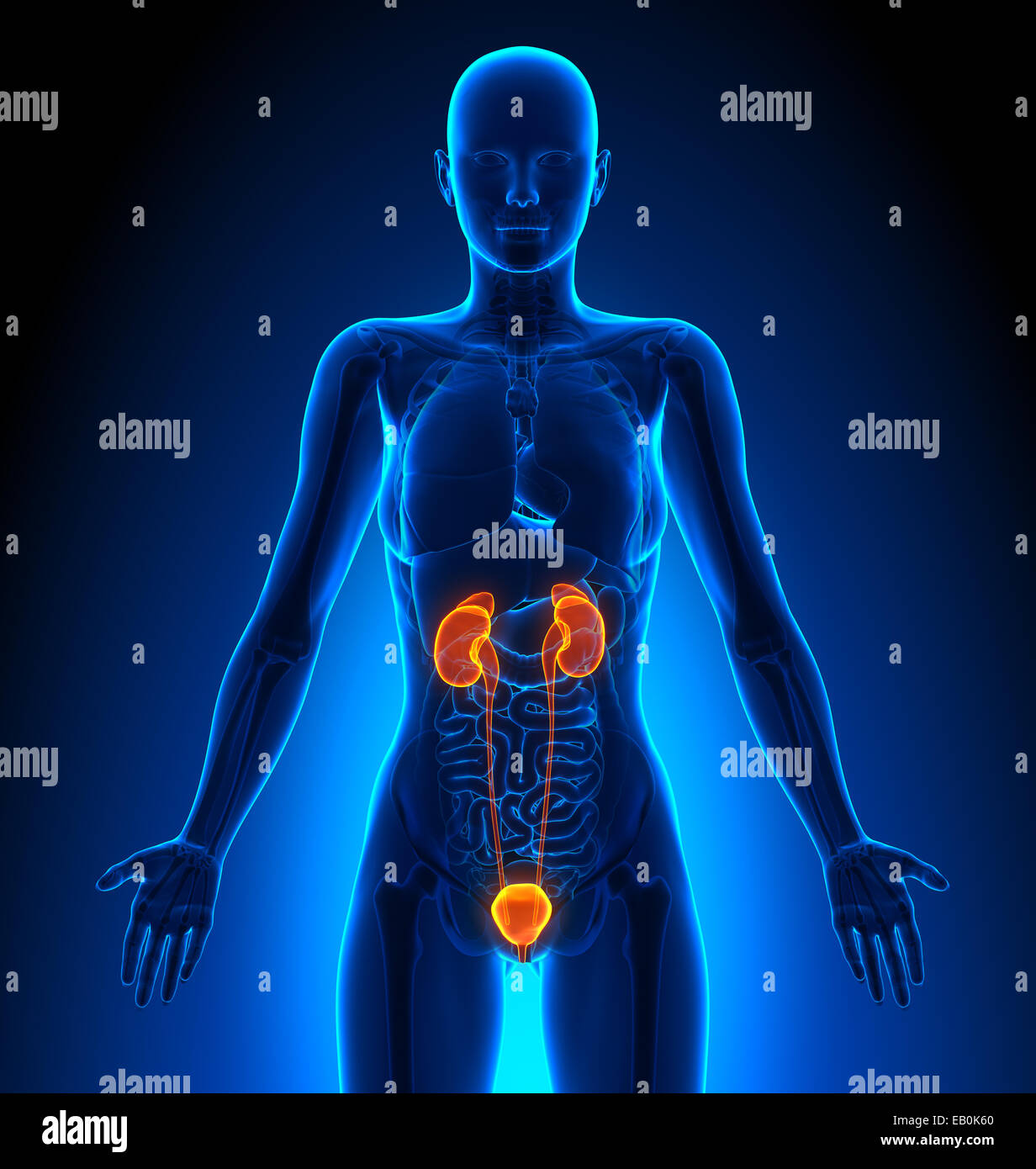 Sistema urinario - órganos femeninos - Anatomía Humana Foto & Imagen ...