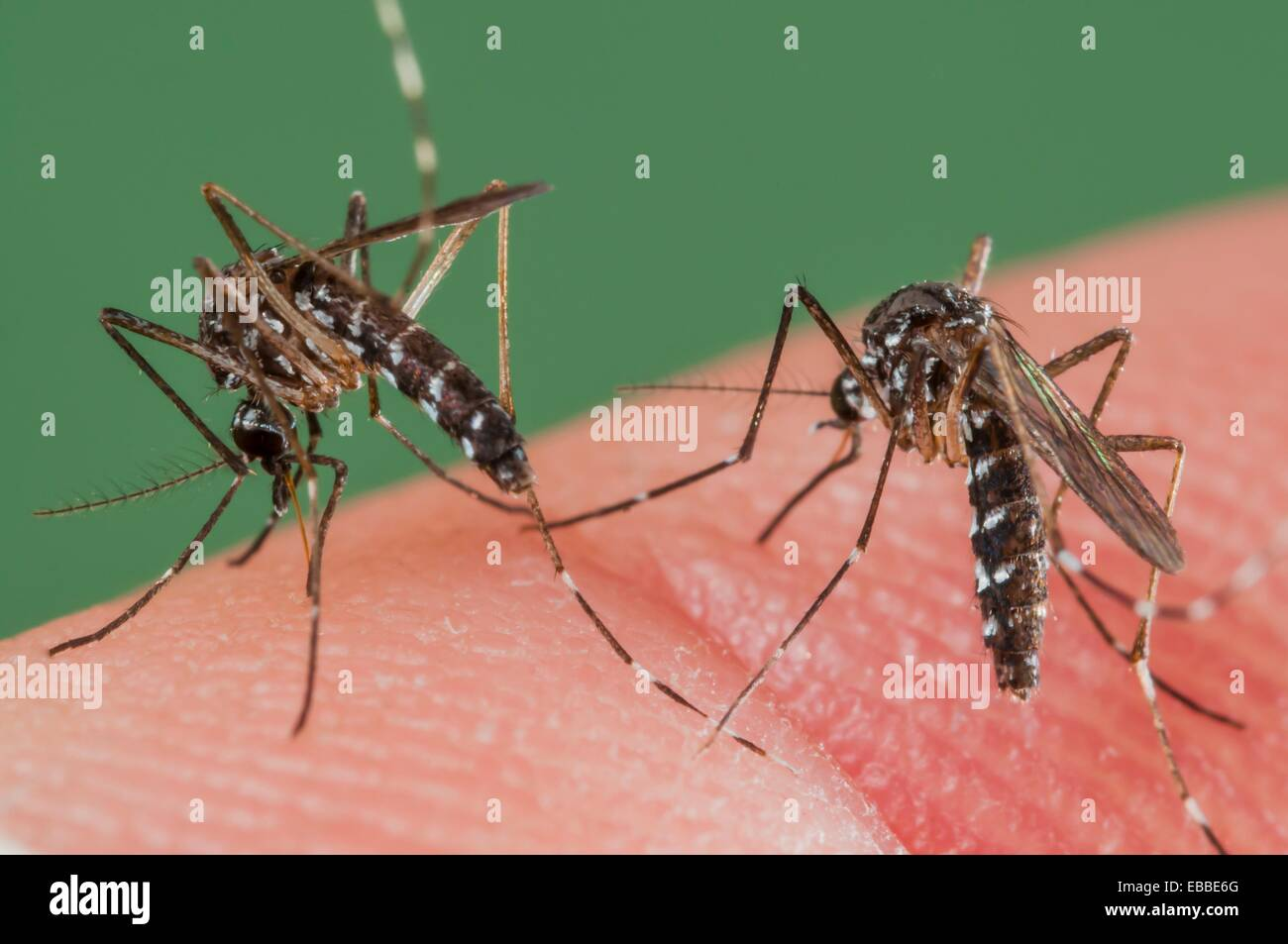 2004 Aedes albopictus anatomía animal artrópodo picadura de mosquito ...