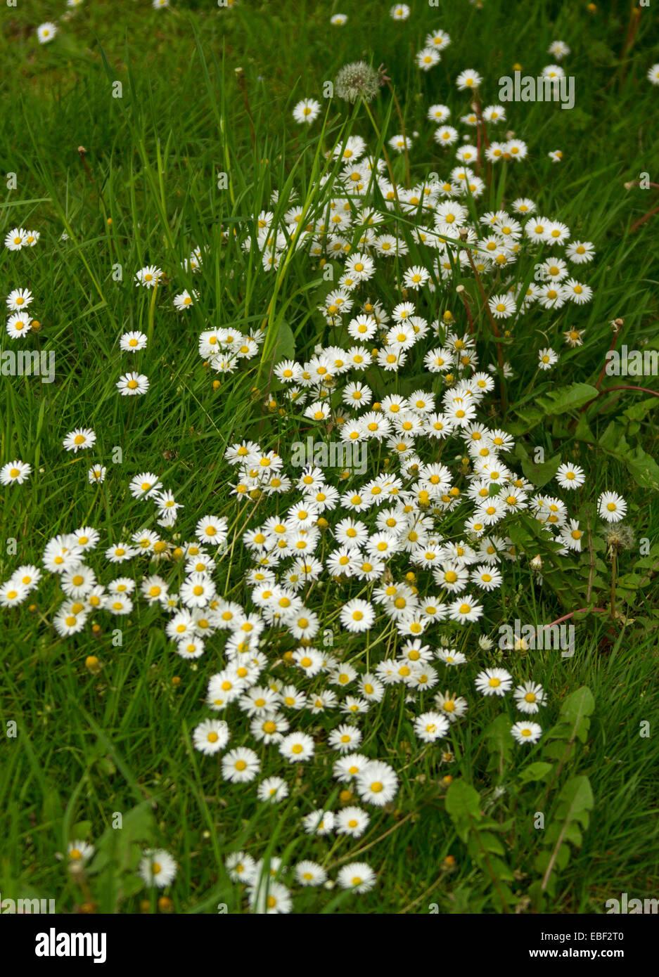 Cluster Grande De Flores Silvestres Margaritas Blancas Pequenas