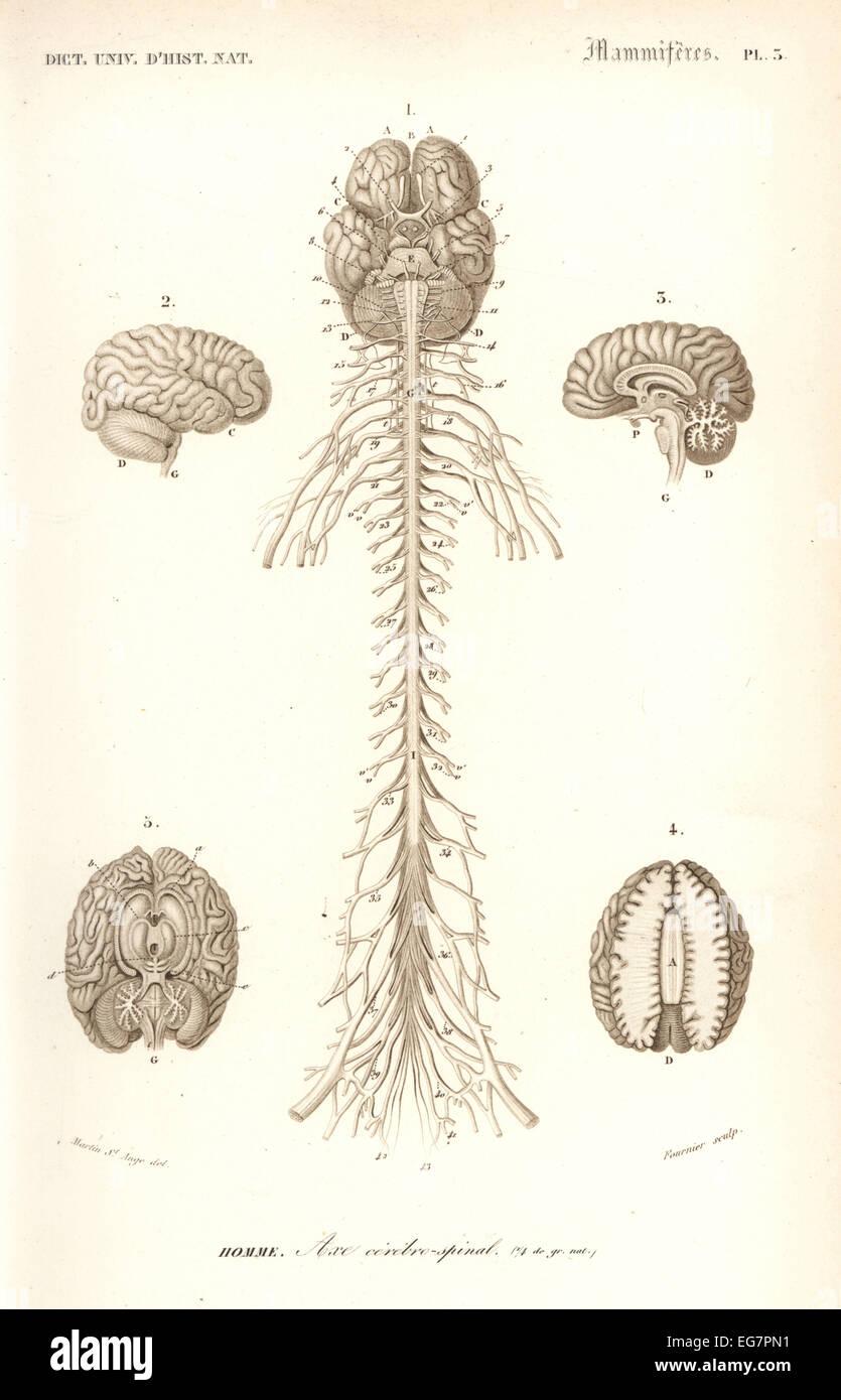 Anatomía Humana, el sistema nervioso, el cerebro y la médula espinal ...