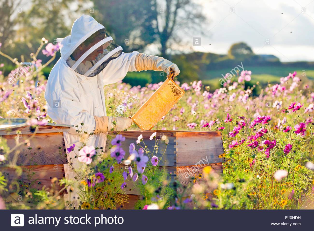Comprobación apicultor miel sobre el bastidor de la colmena en el ...
