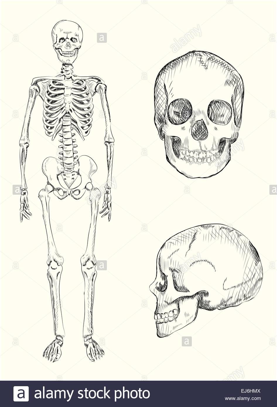 Dibujadas a mano ilustración del esqueleto humano y el cráneo ...