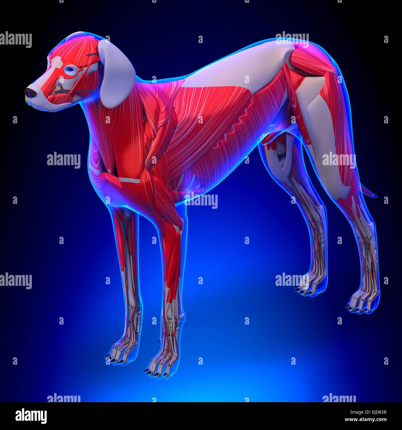 Los músculos del perro Anatomía - Anatomía de un perro macho ...