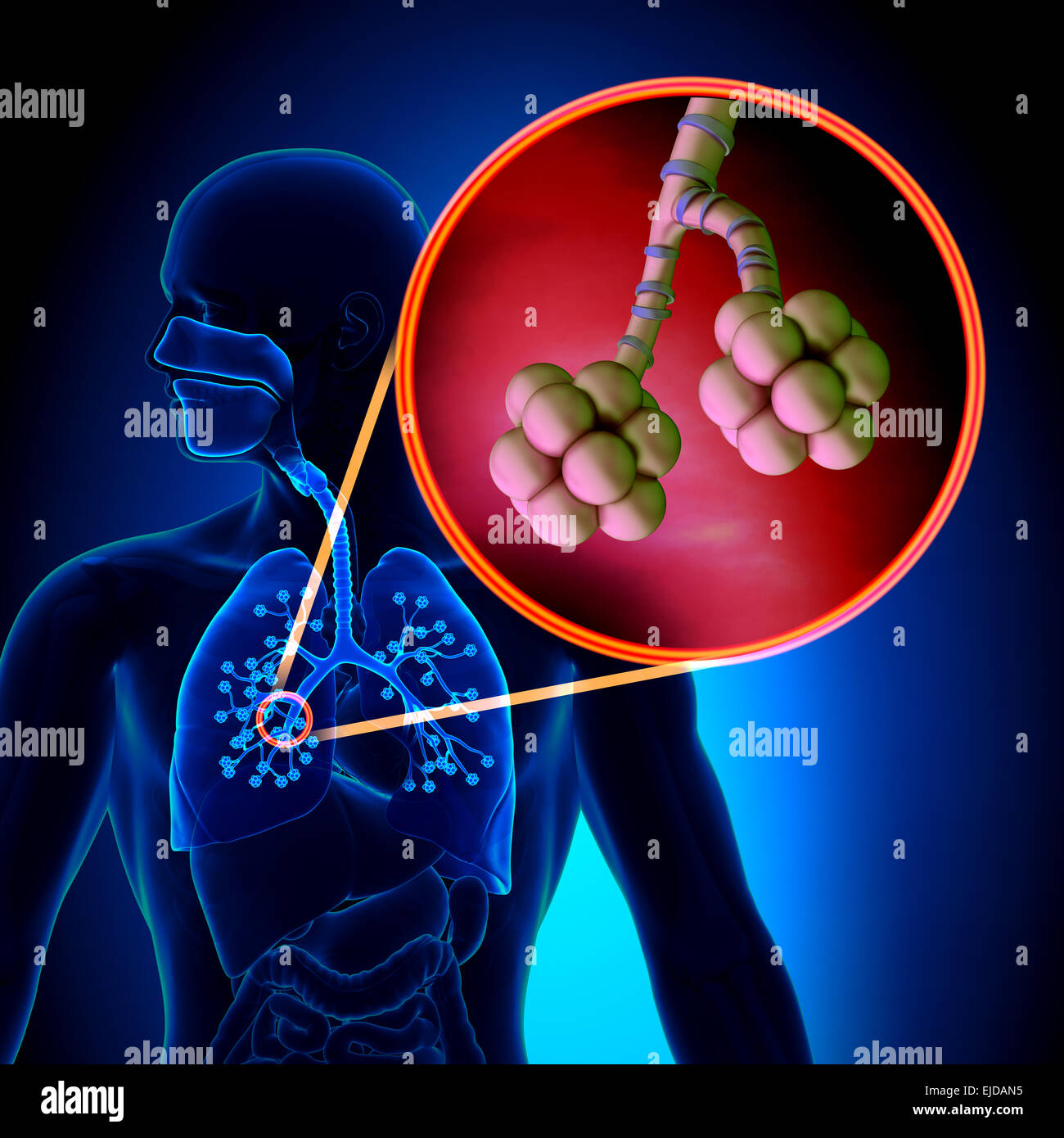 Los pulmones alvéolos - Anatomía del sistema respiratorio humano ...