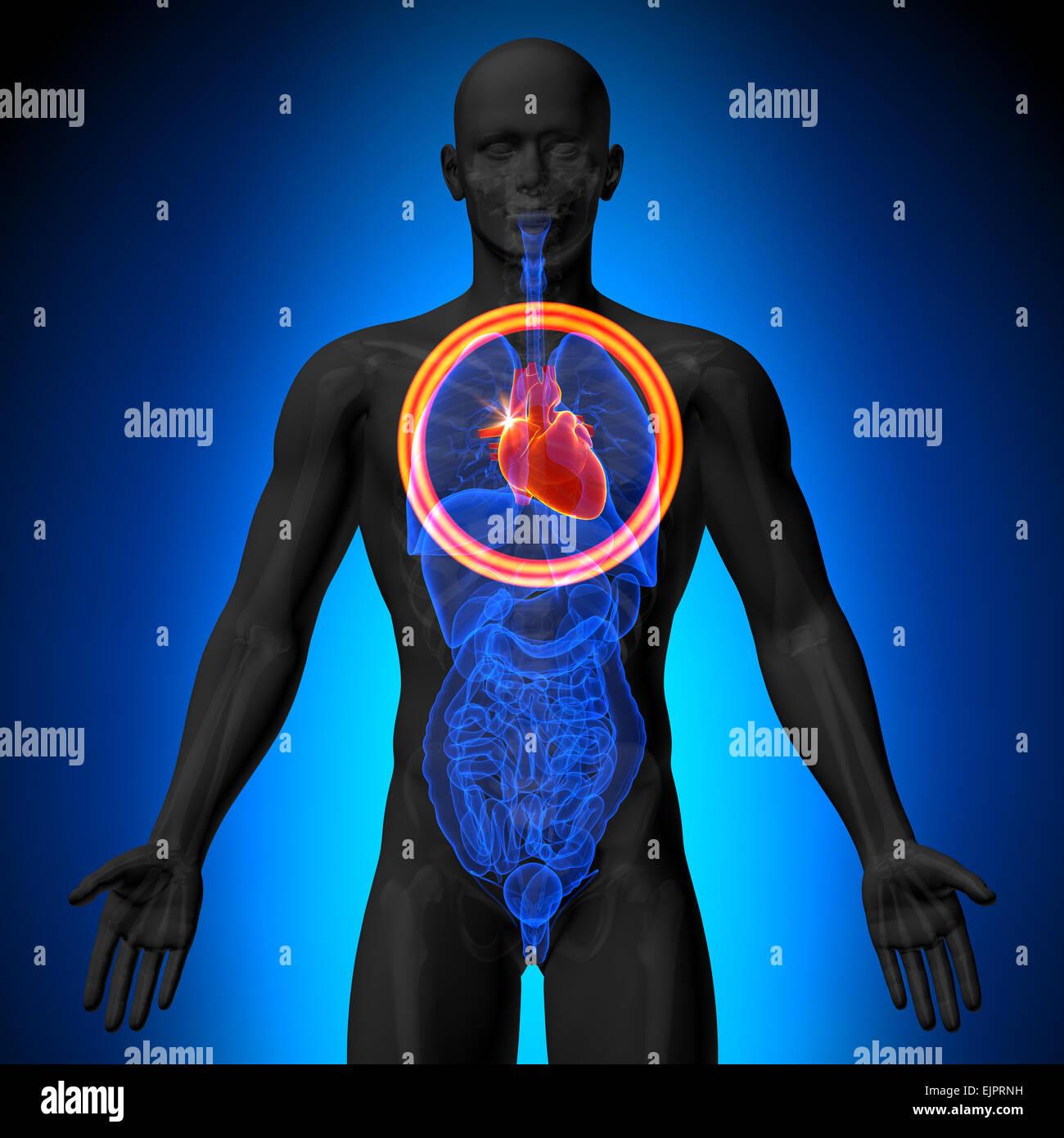 Corazón - anatomía masculina de órganos humanos - Vista de rayos x ...
