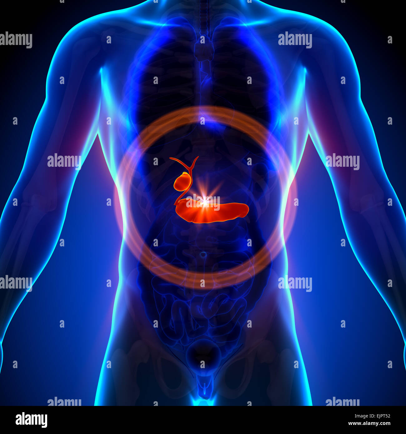 Vesícula biliar / Páncreas - anatomía masculina de órganos humanos ...