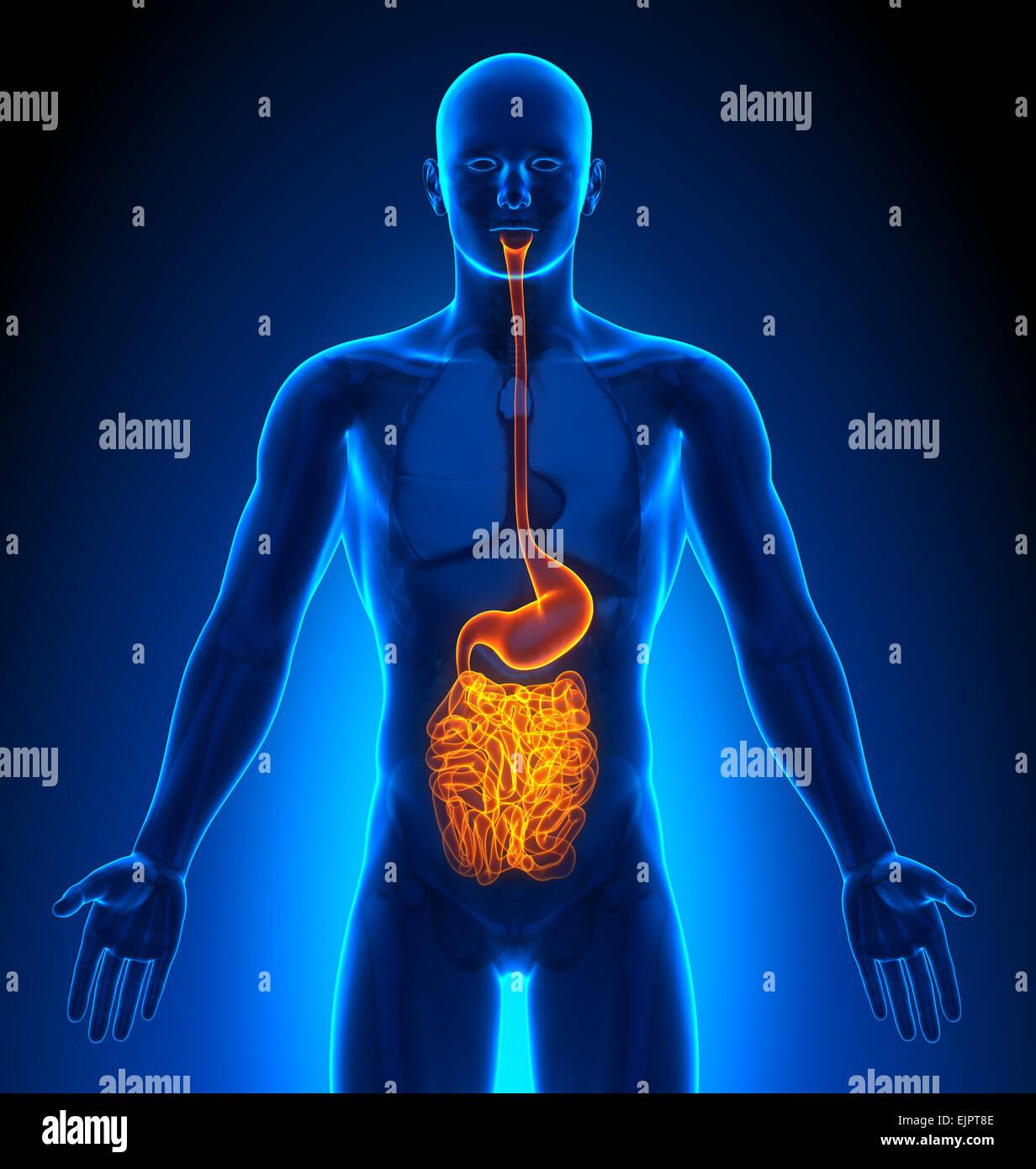 Guts macho / Anatomía digestiva estomacal visión de rayos x Foto ...