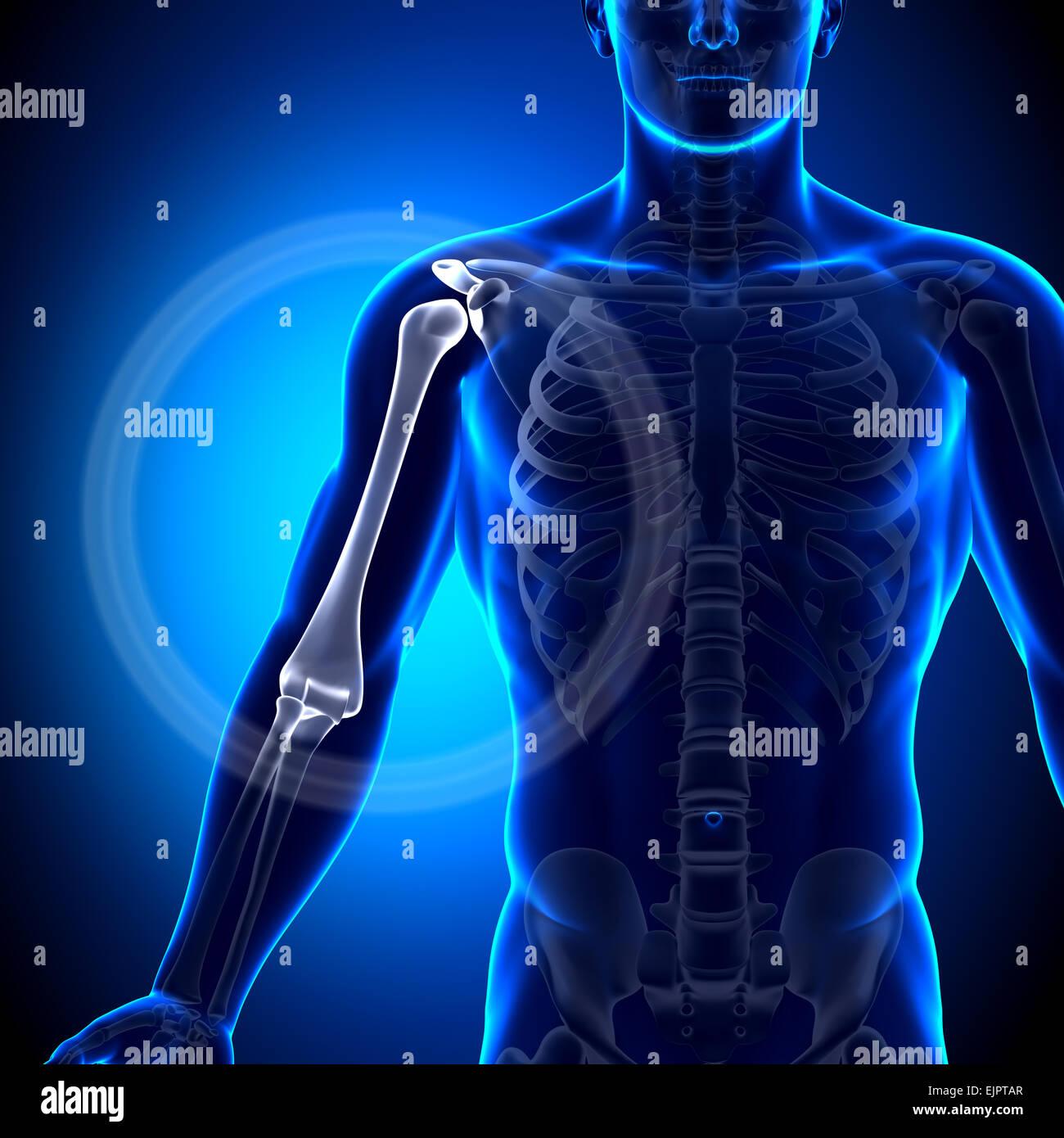 Húmero brazo macho / anatomía - Anatomía huesos Foto & Imagen De ...