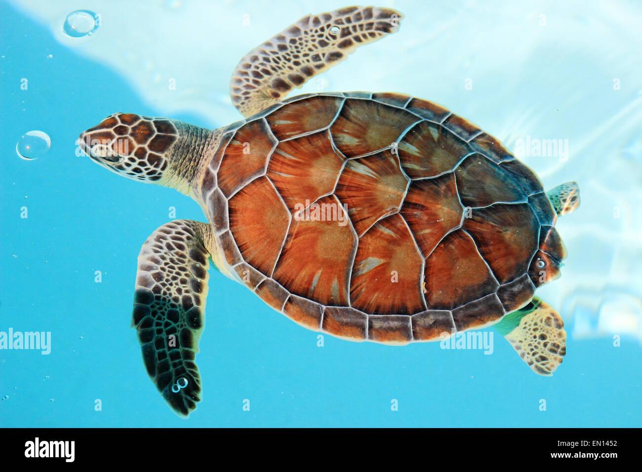 Mexicanas amenazadas tortuga en el agua color turquesa Foto & Imagen ...