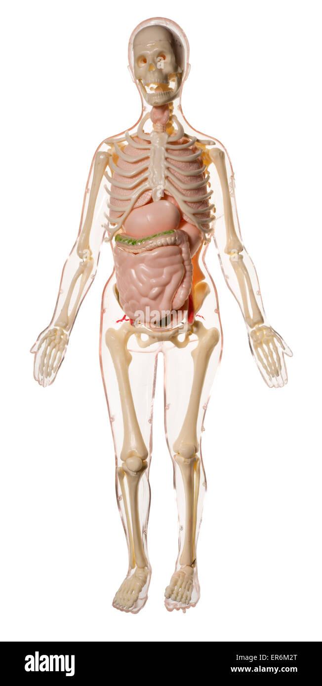 Esqueleto Humano juguete, para que los niños aprendan sobre el ...
