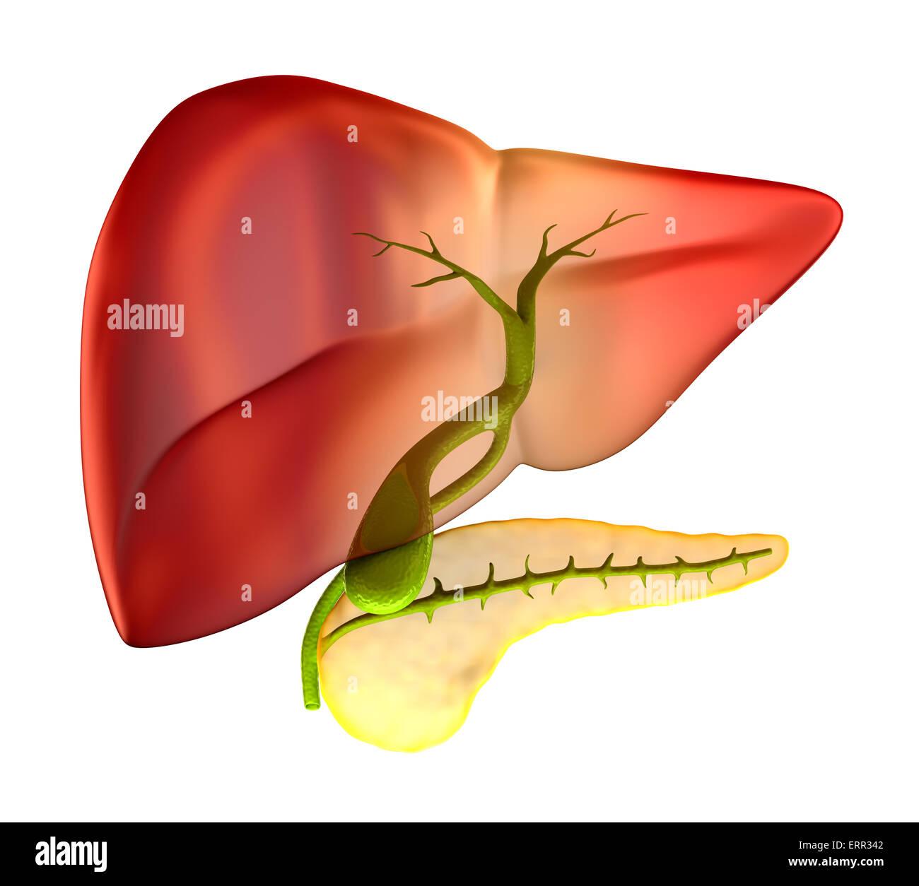 Sección transversal de la Vesícula biliar Anatomía Humana Real ...