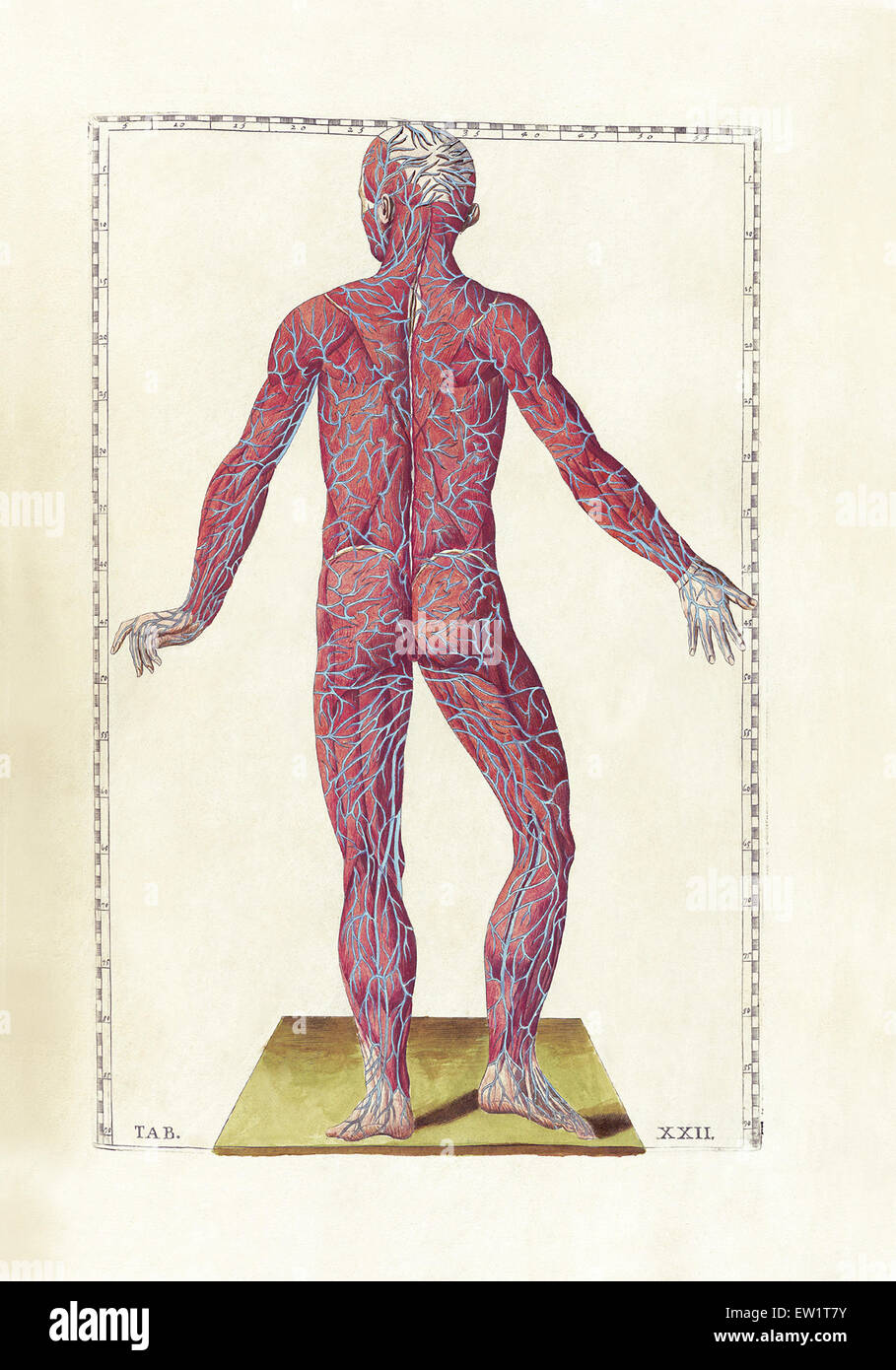 La ciencia de la anatomía humana por Bartholomeo Eustachi ...