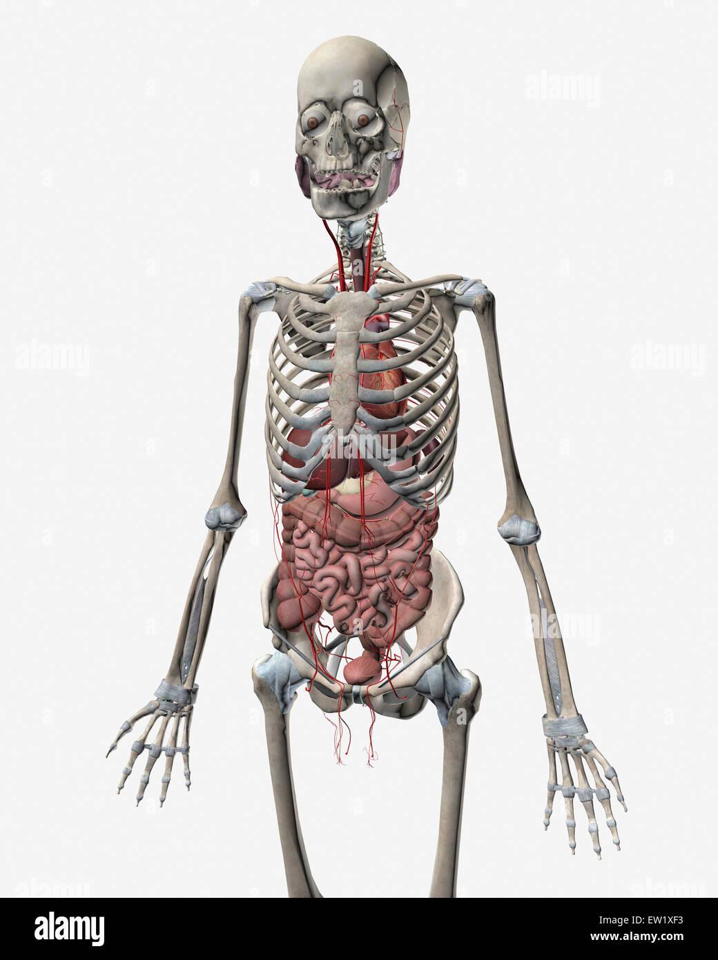 Sistema esquelético humano con órganos del sistema digestivo visible ...