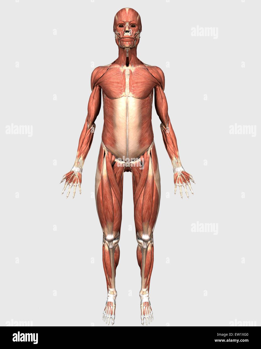 Vista frontal del sistema muscular humano Foto & Imagen De Stock ...