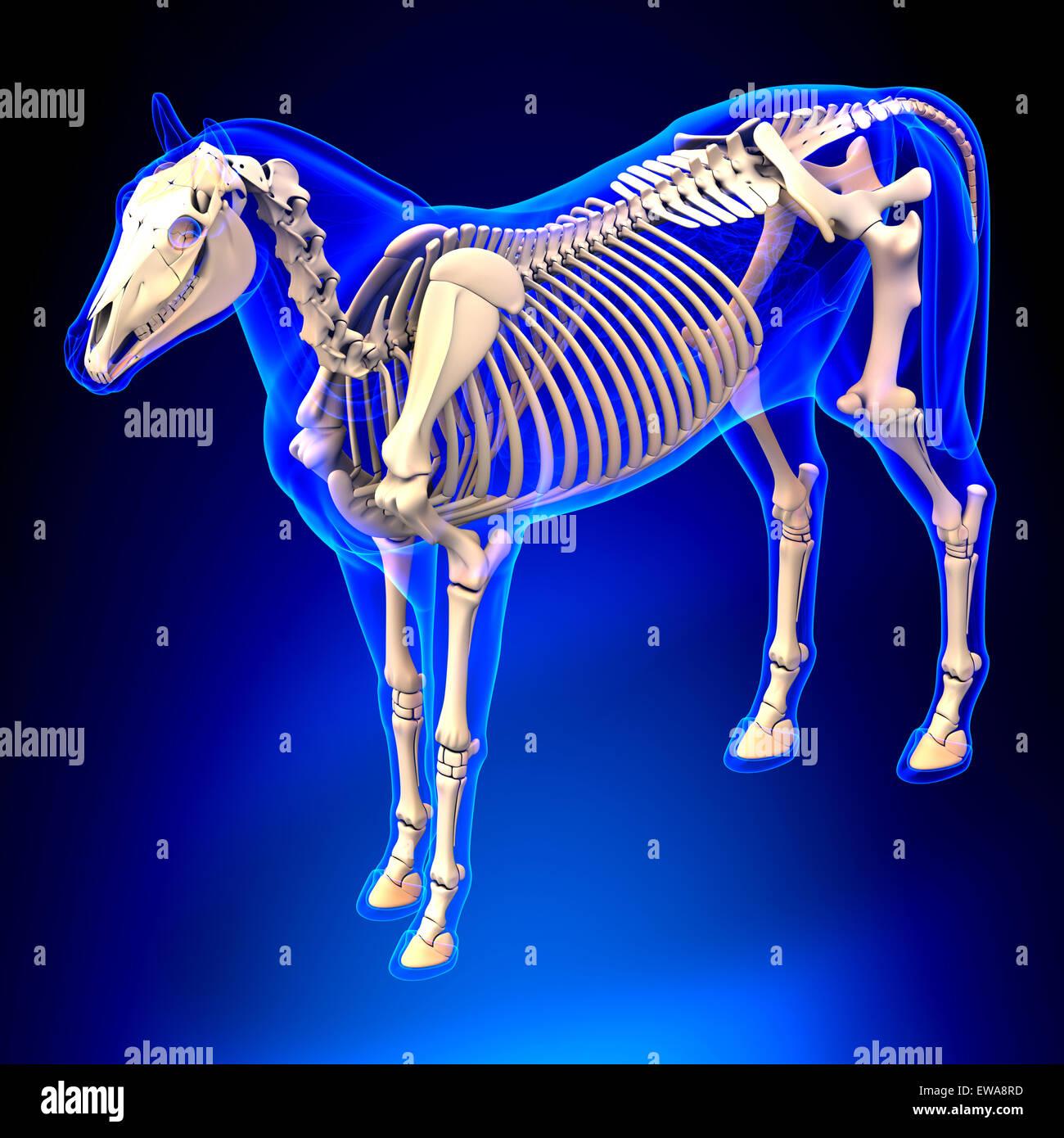 Esqueleto de caballo - Caballo Equus Anatomía - sobre fondo azul ...