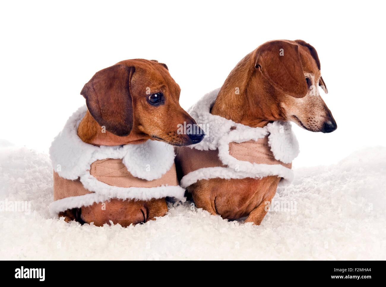 Perros Pequeños Y Bonitos Vestidos En Abrigos De Invierno Mirando
