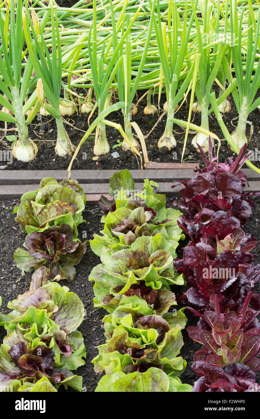 onions growing in vegetable bed Stock Photos & onions growing in ...