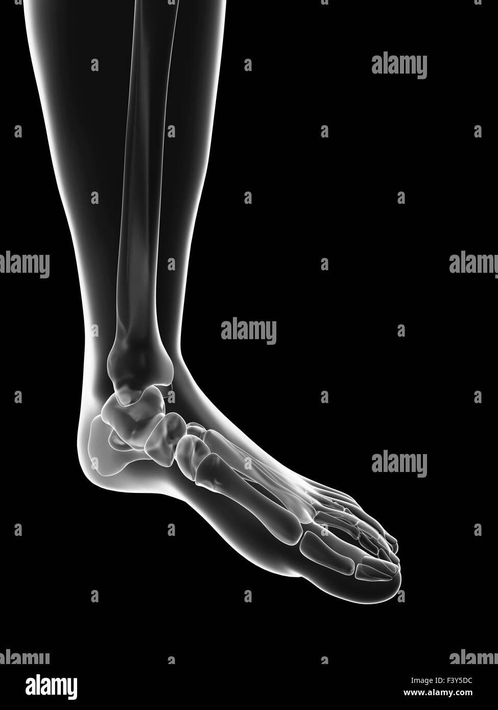 Transparente esqueleto femenino - huesos de los pies Foto & Imagen ...