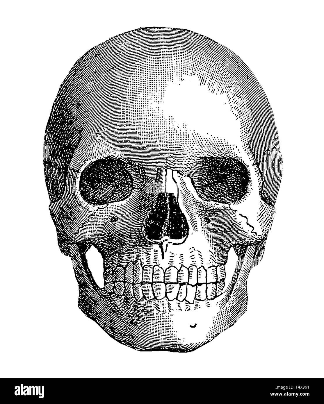 Miifotos Vintage Anatomia Humana Completo Cráneo Wwwmiifotoscom