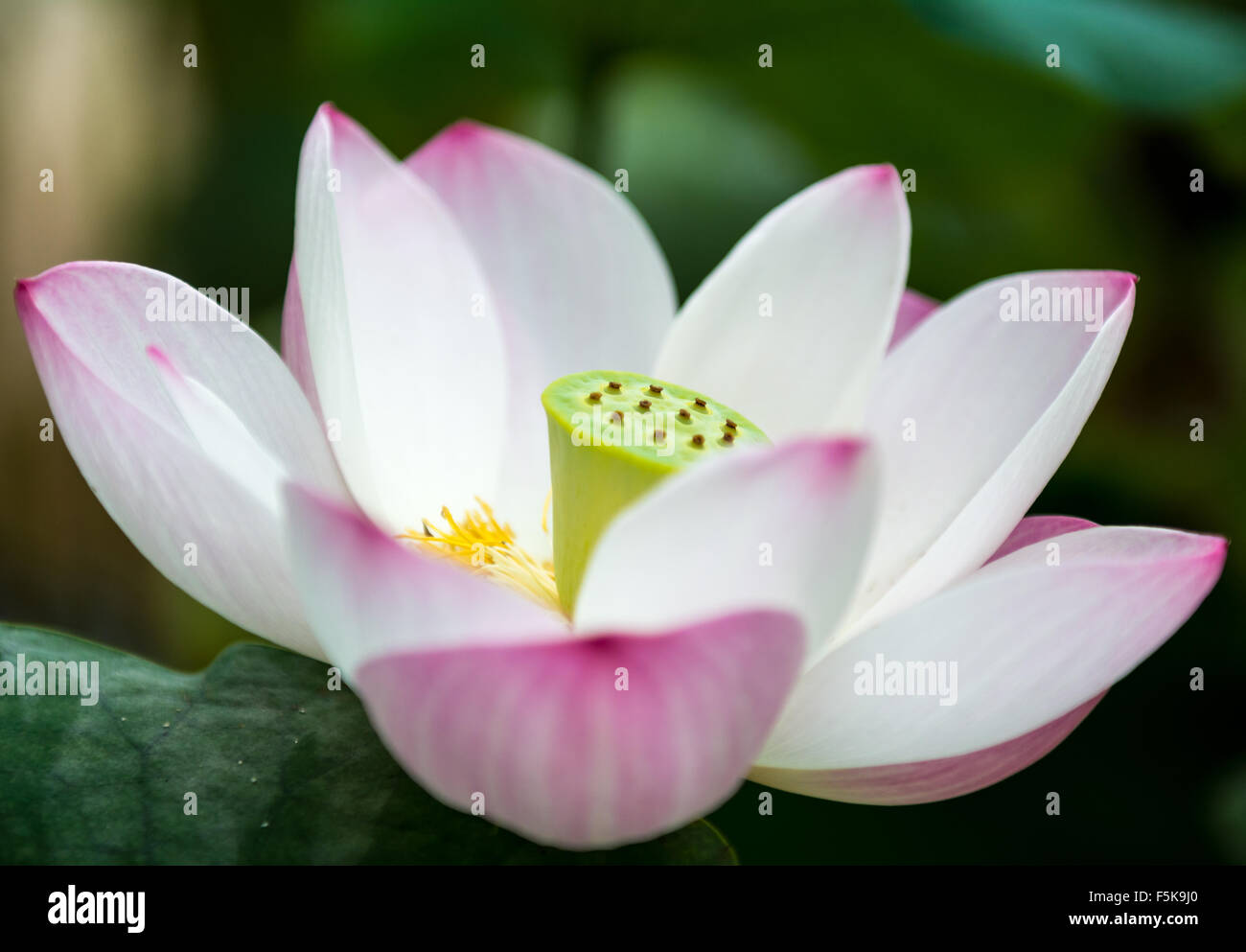 Una Flor De Loto En Un Templo Budista En Seúl Corea Del Sur Foto