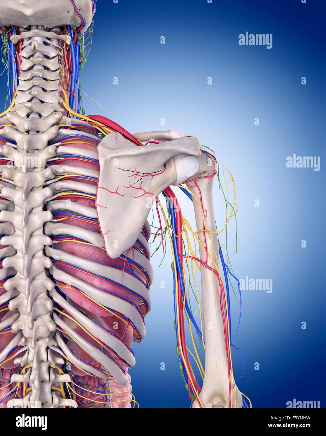 Ilustración médica precisa de la anatomía del hombro Foto & Imagen ...